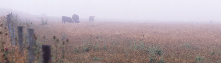 foggy cows on pierce point road